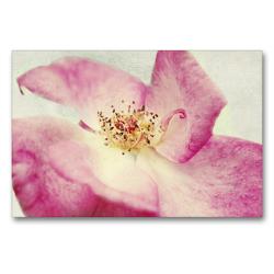 Premium Textil-Leinwand 90 x 60 cm Quer-Format Vintage Rose | Wandbild, HD-Bild auf Keilrahmen, Fertigbild auf hochwertigem Vlies, Leinwanddruck von Angela Dölling