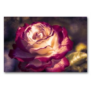 Premium Textil-Leinwand 90 x 60 cm Quer-Format Weiss rote Rosenblüte mit Textur   Wandbild, HD-Bild auf Keilrahmen, Fertigbild auf hochwertigem Vlies, Leinwanddruck von Nicc Koch