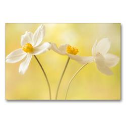 Premium Textil-Leinwand 90 x 60 cm Quer-Format Weiße Blumen – Anemonen | Wandbild, HD-Bild auf Keilrahmen, Fertigbild auf hochwertigem Vlies, Leinwanddruck von Ulrike Adam