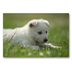 Premium Textil-Leinwand 90 x 60 cm Quer-Format Weisse Schäferhund Welpen – Berger Blanc Suisse | Wandbild, HD-Bild auf Keilrahmen, Fertigbild auf hochwertigem Vlies, Leinwanddruck von Tanja Riedel