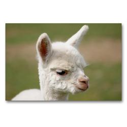 Premium Textil-Leinwand 90 x 60 cm Quer-Format Weißes Alpaka Fohlen auf gerahmter Leinwand | Wandbild, HD-Bild auf Keilrahmen, Fertigbild auf hochwertigem Vlies, Leinwanddruck von Bianca Mentil