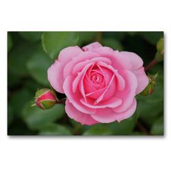 Premium Textil-Leinwand 90 x 60 cm Quer-Format Zartrosa Rosenblüte | Wandbild, HD-Bild auf Keilrahmen, Fertigbild auf hochwertigem Vlies, Leinwanddruck von kattobello