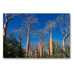 Premium Textil-Leinwand 90 x 60 cm Quer-Format Zwillings-Baobab (Adansonia rubrostipa) im Dornenwald   Wandbild, HD-Bild auf Keilrahmen, Fertigbild auf hochwertigem Vlies, Leinwanddruck von Olaf Bruhn
