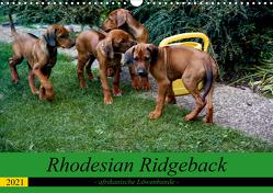 Rhodesian Ridgeback – afrikanische Löwenhunde (Wandkalender 2021 DIN A3 quer) von Behrens,  Dagmar