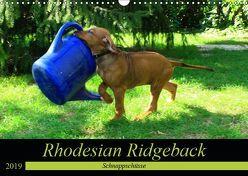 Rhodesian Ridgeback – Schnappschüsse – (Wandkalender 2019 DIN A3 quer) von Behrens,  Dagmar