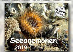 Seeanemonen (Wandkalender 2019 DIN A2 quer) von Heizmann,  Thomas