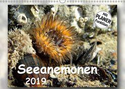 Seeanemonen (Wandkalender 2019 DIN A3 quer) von Heizmann,  Thomas