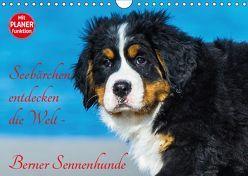 Seebärchen entdecken die Welt – Berner Sennenhunde (Wandkalender 2019 DIN A4 quer) von Starick,  Sigrid