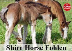 Shire Horse Fohlen (Wandkalender 2019 DIN A3 quer) von Stanzer,  Elisabeth