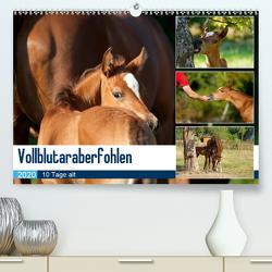 Vollblutaraberfohlen (Premium, hochwertiger DIN A2 Wandkalender 2020, Kunstdruck in Hochglanz) von Schiller,  Petra