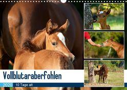 Vollblutaraberfohlen (Wandkalender 2020 DIN A3 quer) von Schiller,  Petra