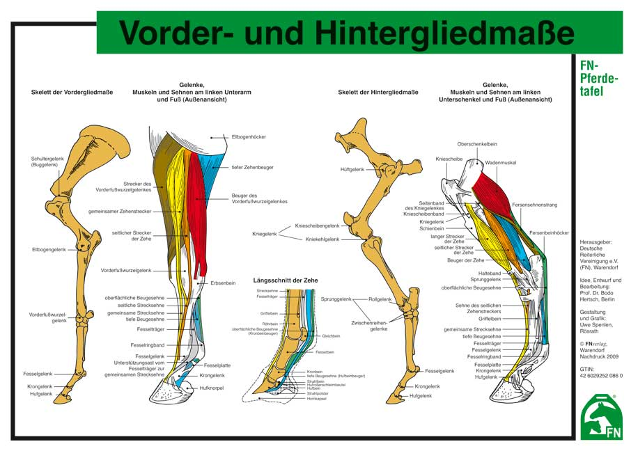 Atemberaubend Pferde Beine Anatomie Bilder - Anatomie Von ...