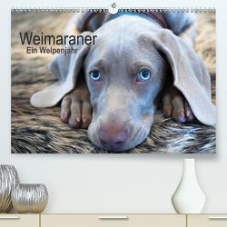 Weimaraner – Ein Welpenjahr (Premium, hochwertiger DIN A2 Wandkalender 2021, Kunstdruck in Hochglanz) von Kaltenegger,  Ira