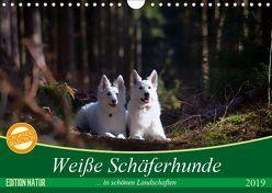 Weiße Schäferhunde in schönen Landschaften (Wandkalender 2019 DIN A4 quer) von Schikore,  Martina